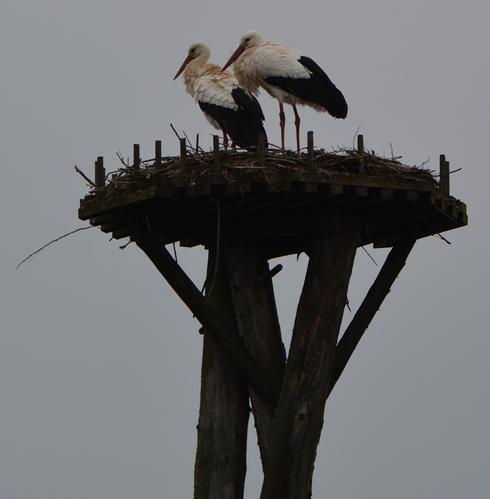 Letztjähriges Storchenpaar ist erneut auf Unshäuser Horst eingezogen!