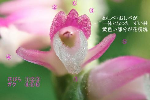 写真4 ネジバナの花のつくり