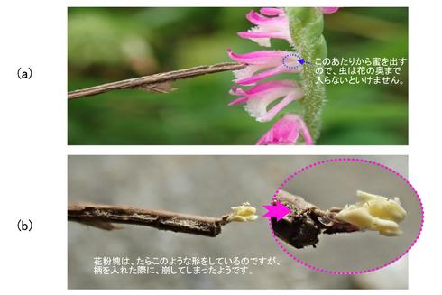 写真5 ネジバナの花粉塊が送粉されるようす