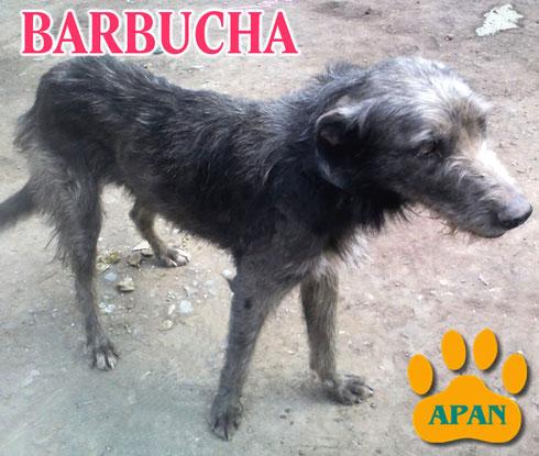 barbucha en adopcion perro