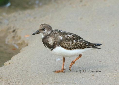 Bildmitte: Heringsmöwe (Larus fuscus) Adulter Vogel. Rechts: Silbermöwe. Küste bei Westkapelle, NL [September]