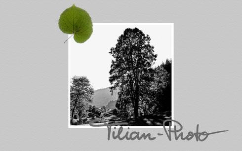 Tilia 01