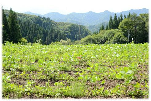 長野県小川村の大豆畑