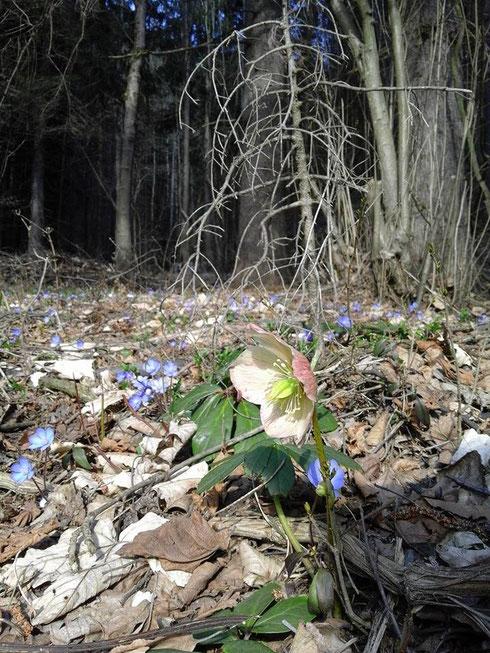Schneerose und Leberblümchen - Schönheiten