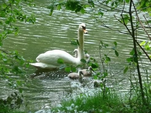Familie Schwan auf einem Teich in den Ederauen.  Foto: Ulrike Mose  25.05.2013
