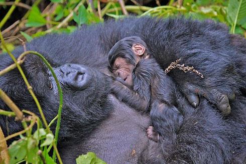 Bergorillaweibchen mit 3-Tage altem Baby