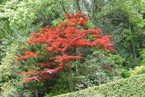 新緑の山裾を飾る深紅の楓の写真