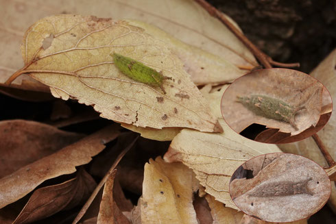 写真3 緑色から茶色にかわりつつあるゴマちゃん