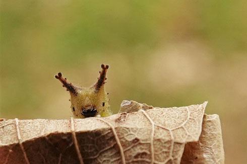 写真2 ゴマちゃん(ゴマダラチョウの幼虫)