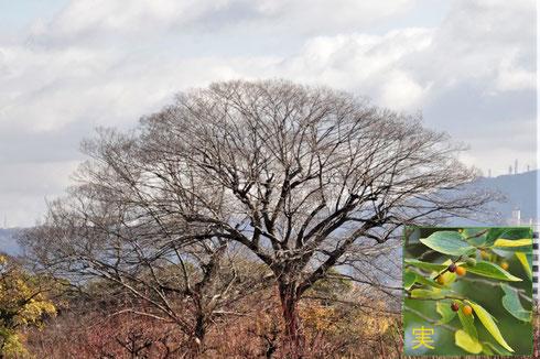 写真1 葉っぱがすっかり落ちたエノキ