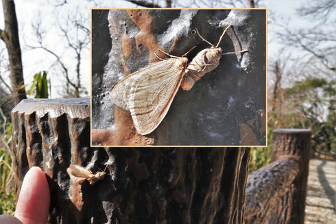 写真1 擬木柵にとまって交尾するフユシャク
