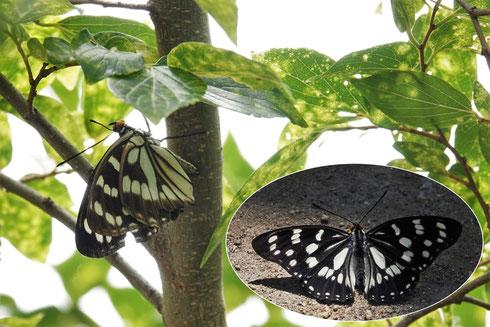 写真4 エノキにとまるゴマダラチョウ