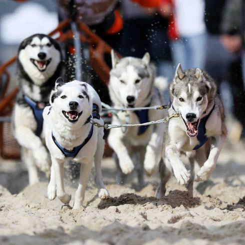 Das regelmäßige Training mit den Schlittenhunden erhöht deren Leistungsstärke. Im Bild das Team unseres Mushers Stefan Finzel. Foto: ExperiArts Entertainment- Stefan Stuhr