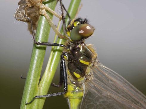 Portrait eines frisch geschlüpften Männchens der Gefleckten Smaragdlibelle, Somatochlora flavomaculata.