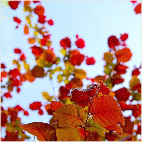 Осенние краски природы - листья деревьев оранжево-красных тонов