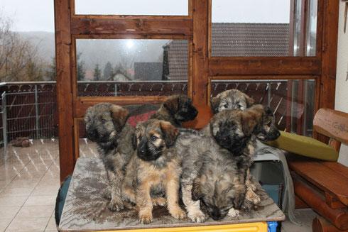 A-Wurf 8 Wochen alt, v.l.n.r.: Alf, Aila, Augustin, Alwin, Aiko, Ajax Wilson, Anton