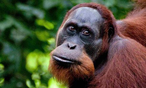 Orang-oetans spotten in het Gunung Leuser National Park op Sumatra