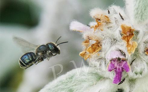 Stahlblaue Mauerbiene, Osmia caerulescens