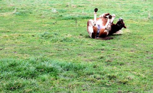 umgekipptes Pferd aus Belgien (2012)