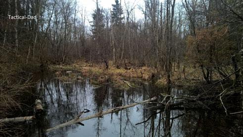 Der Bruchwald in meinem Revier. Ein Bruchwald steh idR. unter Wasser. Ein Auwald nur gelegentlich und liegt im Überschemmungsgebiet.