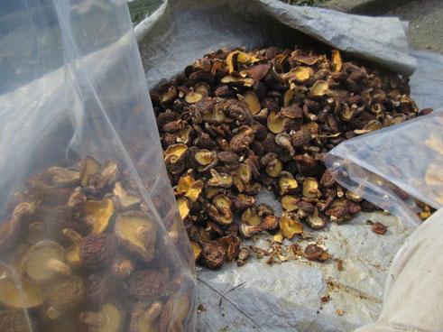 乾燥椎茸はどんことひらきの二種類、色や形のくずれたものは二等品に仕分けます