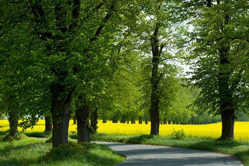 Die Linden auf der Allee nach Rauschendorf