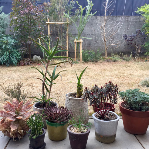すっかりスカスカな庭になっておりやすw 昨日は鉢モノを少しいじって終了~