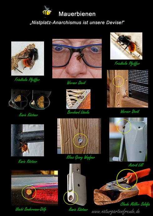 Gehörnte Rostrote Mauerbiene Osmia Nistplatz Wahl des Nistplatz Nistplatz Wahl Wildbiene wild bee mason bee hornfaced bee red mason bee Osmia cornuta bicornis Insektenhotel insect hotel nesting aid bug house