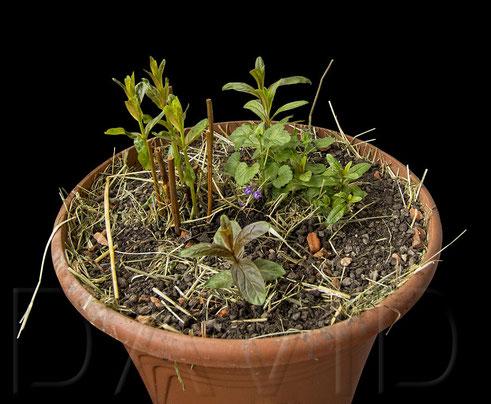Einige Jahre stand der Blutweiderich (Lythrum salicaria) zusammen mit einer Sumpfiris bis zum Hals im Wasser. Nachdem die Iris den Geist aufgegeben hat, genießt er heuer - zusammen mit zwei Artgenossen - erstmals trockene Füße