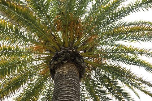 Le palmier était très utilisé aux temps bibliques par les Israélites dans le désert Bible