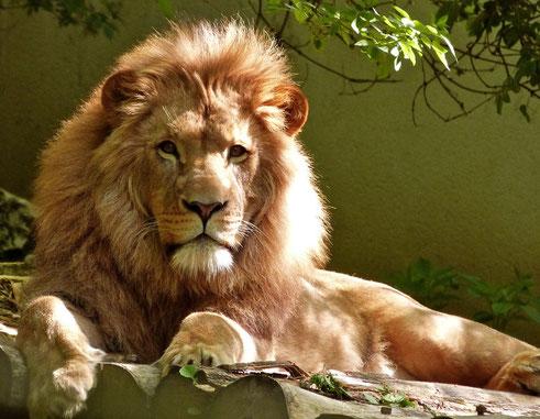 """Le lion est un grand mammifère carnivore, redouté et respecté, associé à l'autorité et au courage. Le roi des animaux dégage une forme de majesté, de pouvoir. Proverbes 30:30: """" le lion, le plus brave des animaux, qui ne recule devant personne."""""""