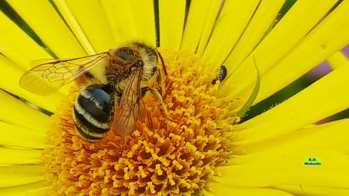Nahaufnahme einer Biene auf der leuchtend gelben Blütes der Gemswurz / Gamswurz / Gämswurz / Doronicum von K.D. Michaelis