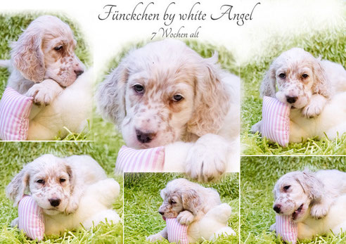 English Setter Fünkchen by white Angel