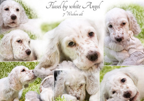 English Setter Flusel by white Angel