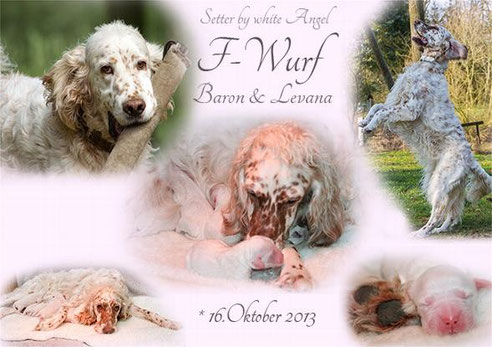 English Setter by white Angel: Der F-Wurf