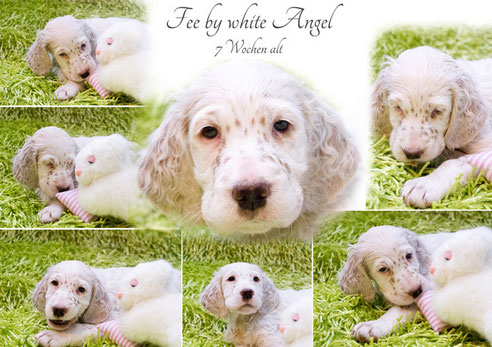 English Setter Fee by white Angel