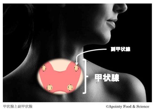 甲状腺は首の付け根付近に位置する。腫れていると橋本病やバセドウ病の疑いがある。