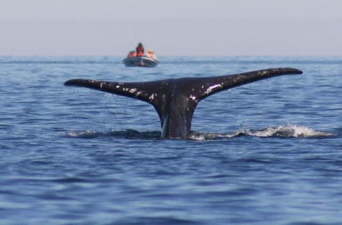 Avistamiento de Ballenas en La Paz México