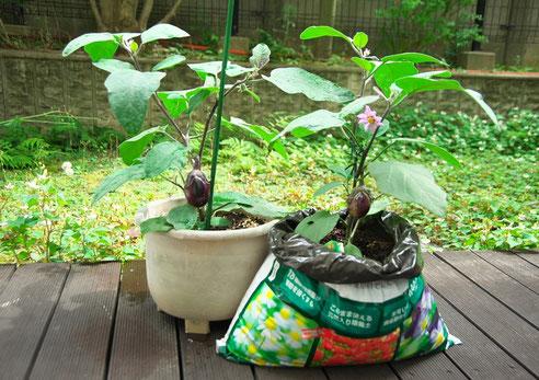 肥料の袋を利用して生育させたナス
