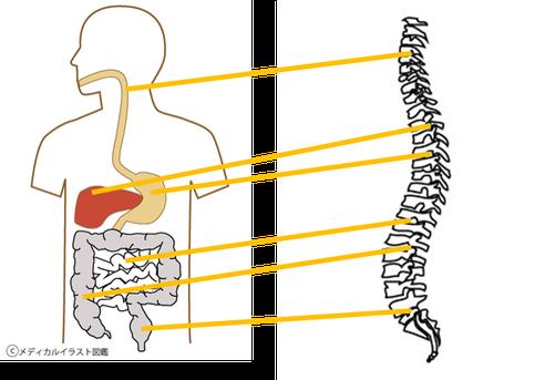 豊橋のカイロしもんは神経のはたらきと各臓器のはたらきにアプローチします