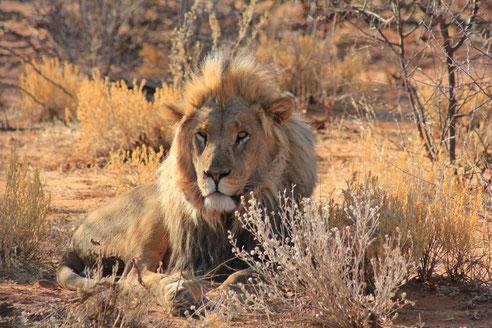 Löwe Namibia Reise Tiere
