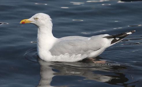 Silbermöwe (Larus argentatus) Adulter Vogel.  Veerse Meer (Zeeland, NL) [September]