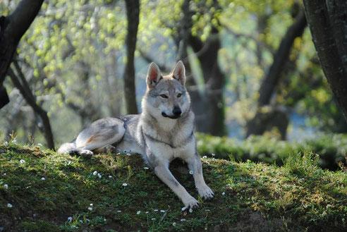 Eve Lobos de Bilsaru(Murad Criyng Wolf x Kaimi Eden Severu)