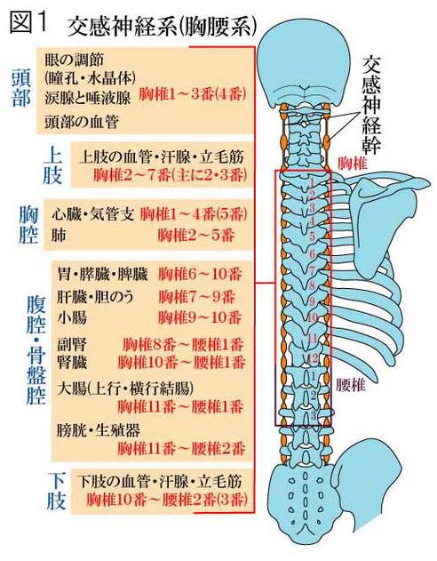 自律神経系 交感神経系
