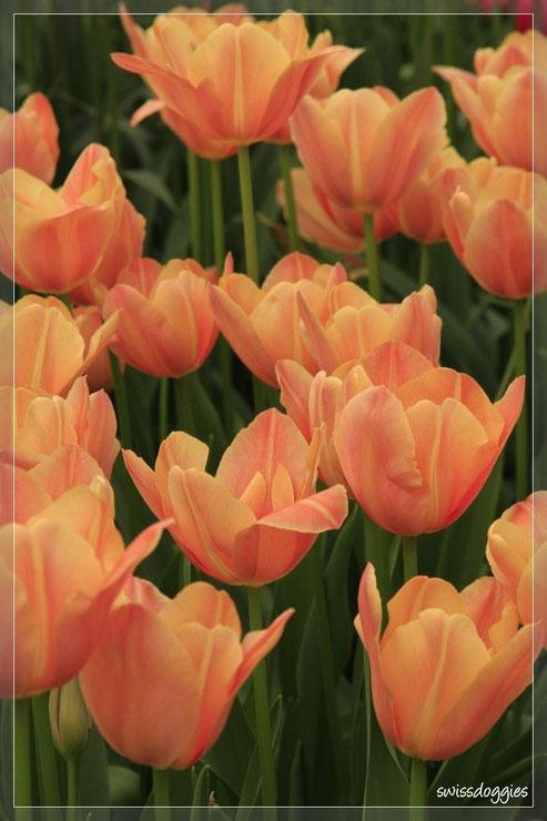 Tulpen in allen Farben...