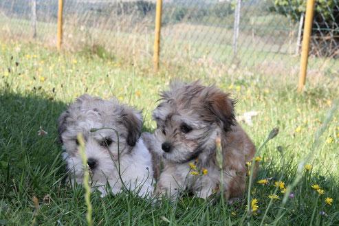Havaneser, Boston Terrier Welpen, Havaneser Welpen, Havaneser Wurf, Boston Terrier,  Züchter für Havaneser  in der Eifel