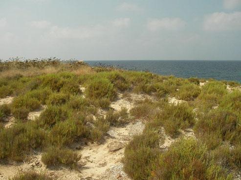 Habitat van Balearenhagedis (Podarcis lilfordi ssp. codrellensis).