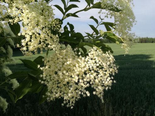 ... der wunderschön nach Sommer riechende Holunder ...