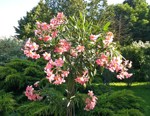 Oleander 'Dr. Ragioneri'
