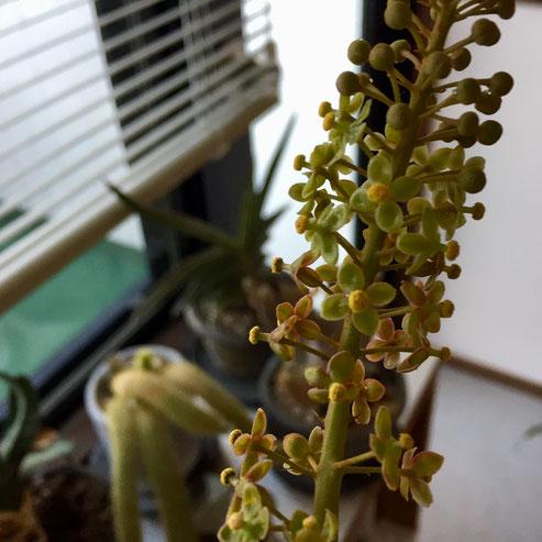 室内置きのネペンテスが開花!♪ こいつの花は夏ごろじゃなかったかな?狂い咲きかな?www